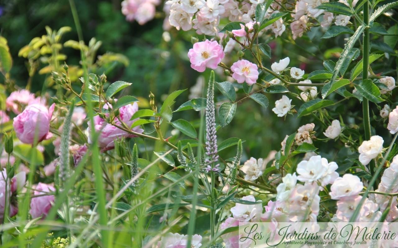 rosa 'Yolande d'Aragon' et 'Castor', véronica 'Charming Pink'