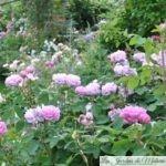 ❤ Focus sur le rosier 'Salet': le charme romantique des roses anciennes