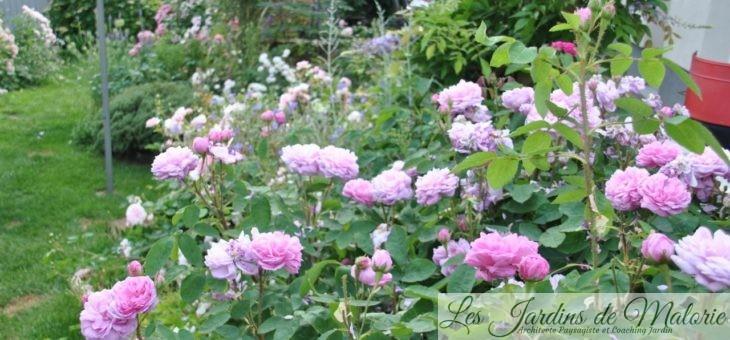 ❤ ❤ ❤ Focus sur le rosier 'Salet': le charme romantique des roses anciennes