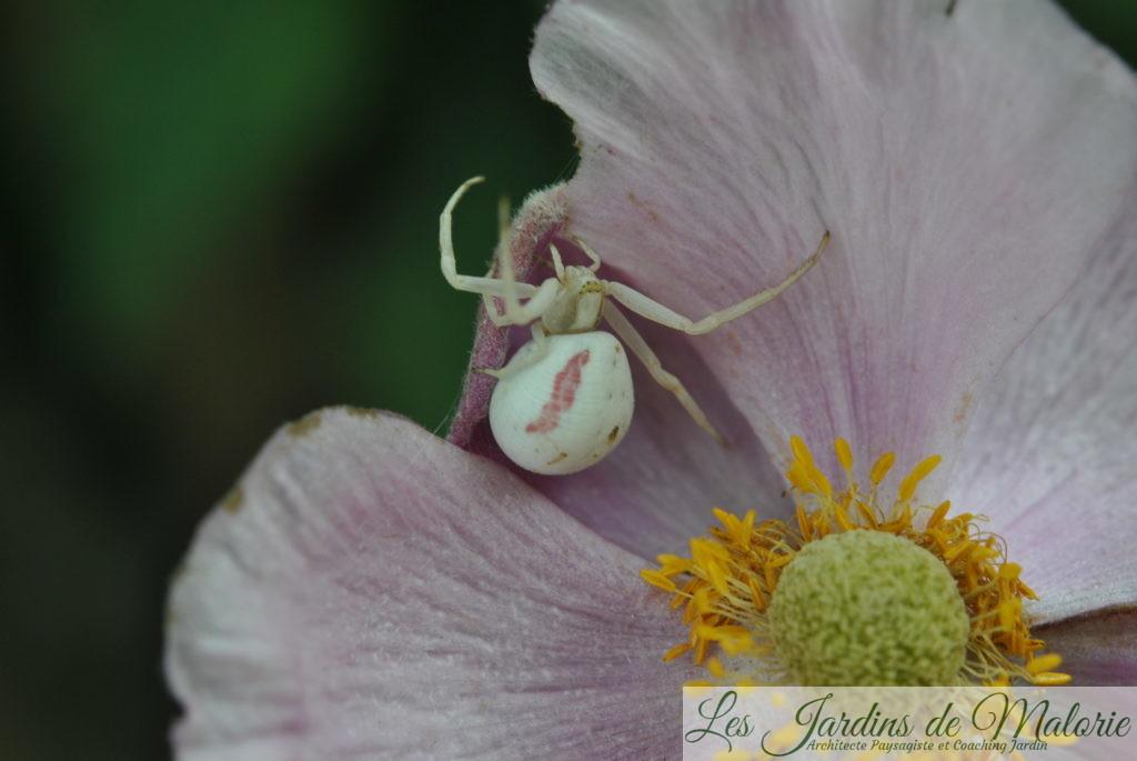 araignée crabe -Thomise variable(Misumena vatia)