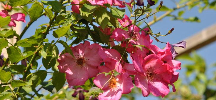 ❤ Focus sur le rosier 'Roville', sublime liane remontant!