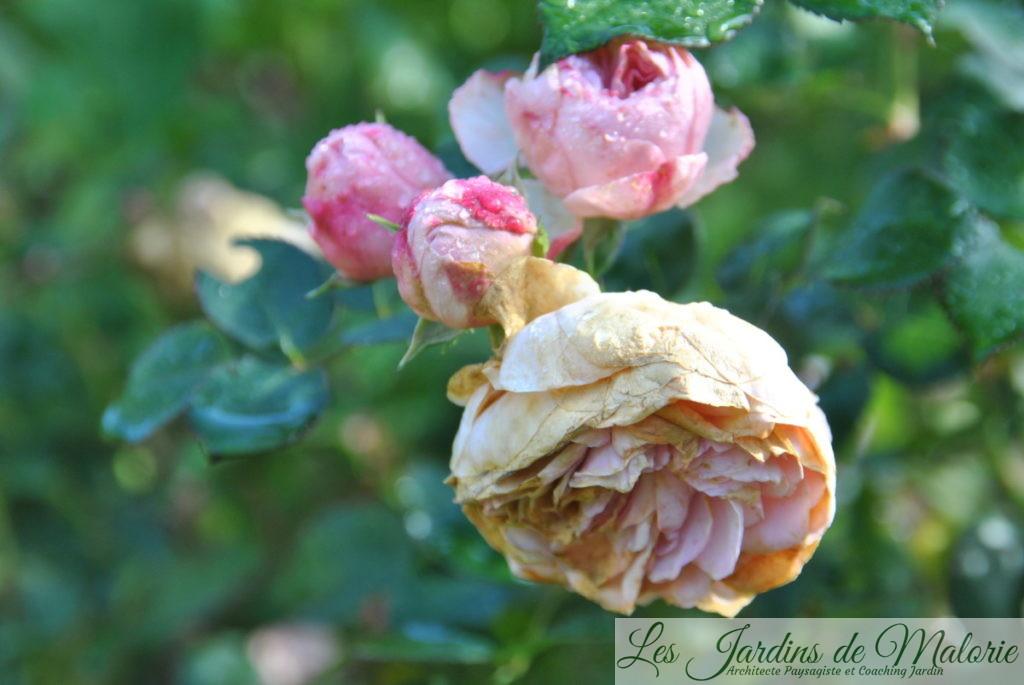 rosa 'Maria Theresia'