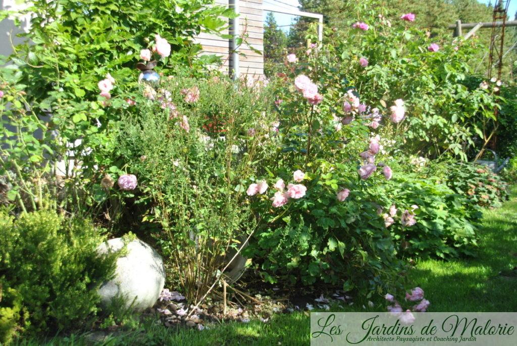 rosa 'Bossa Nova' et 'Salet'