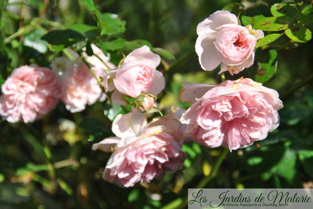 rosa 'Bossa Nova' (The Faun')