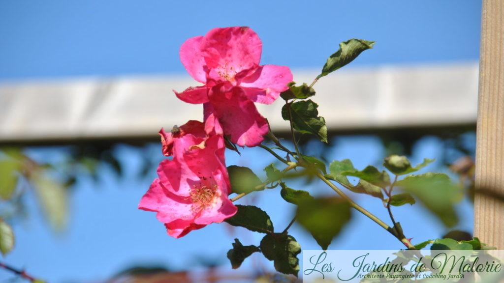 rosier 'Roville'