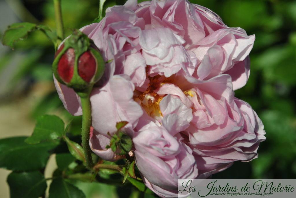 rosa 'Charles Rennie Mackintosh'