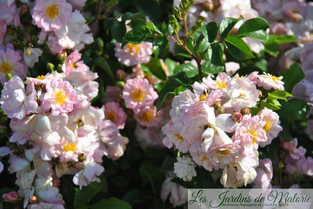 rosa 'Auberge de l'Ill', hybr. moderne - obtention d'André Eve, (40 à 60 cm, P++, TR)