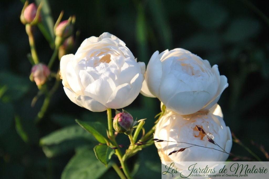 rosier 'William et Catherine'