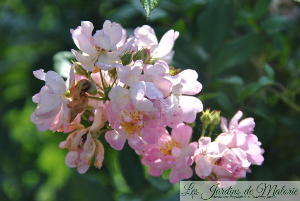 rosa 'Belle des Fagnes' fin septembre