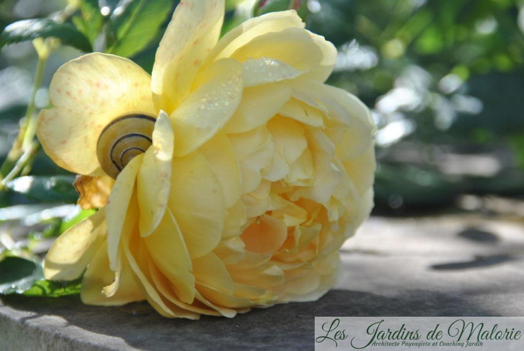 rosa 'Golden Célébration'