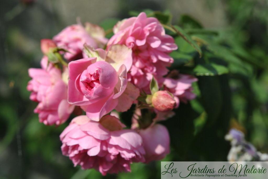 rosa 'Belle de Sardaigne'