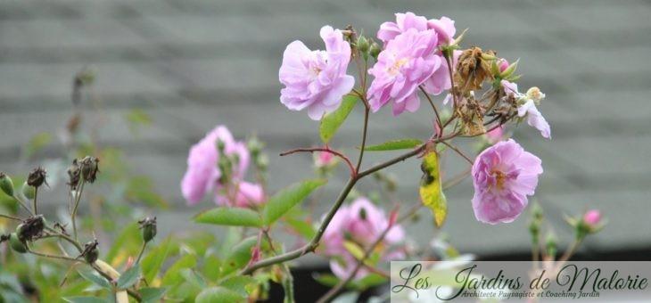 Chroniques de mon jardin: Fleurs roses à pourpre de Novembre