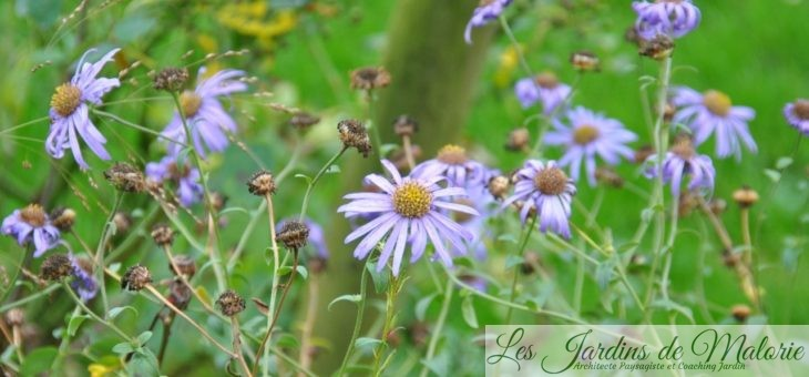 Chroniques de mon jardin: Fleurs bleu-violet de Novembre