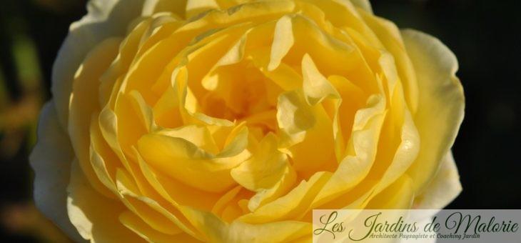 Chroniques de mon jardin : Fleurs jaunes de Novembre