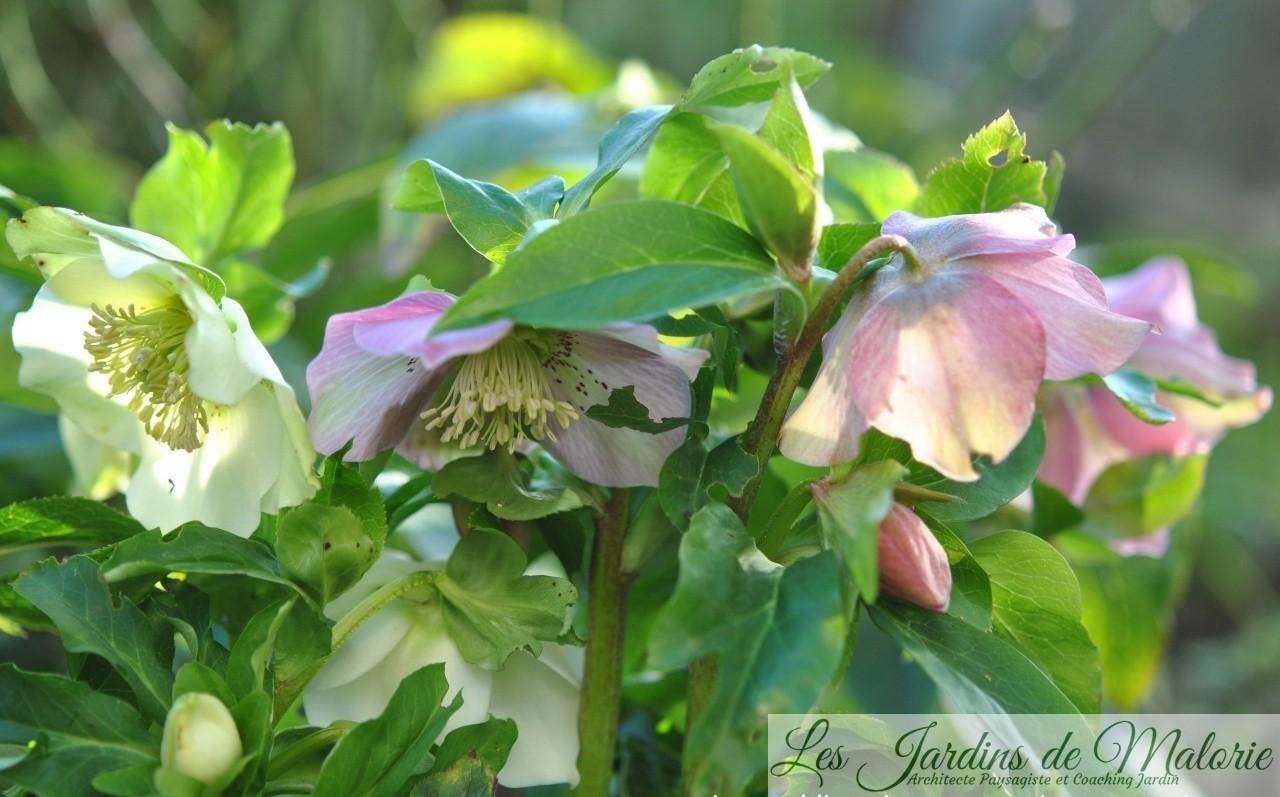 Hellebore Rose De Noel Entretien elle est belle hellébore! - les jardins de malorie