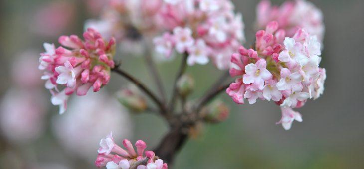 Parfums du jardin : Viburnum bodnantense 'Charles Lamont'