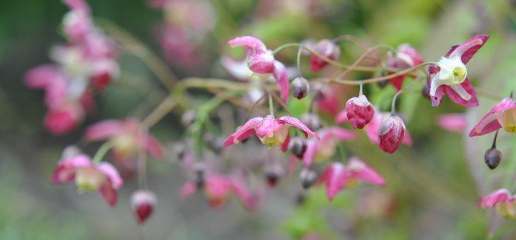 Les fleurs rose/pourpre du début du printemps