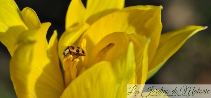 Coccinelle jaune caméléon