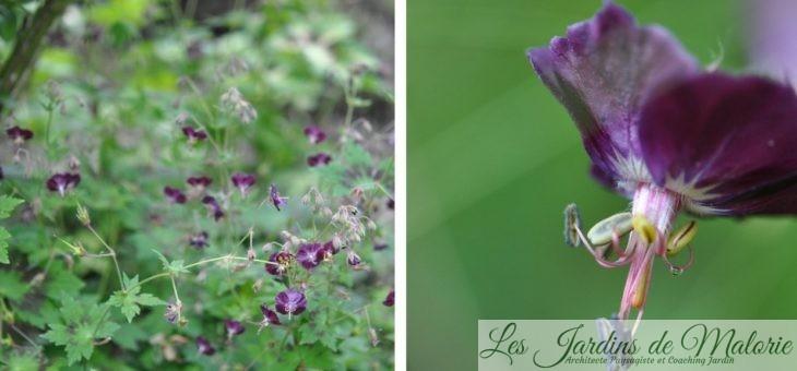 Les géranium phaeum : finesse et élégance