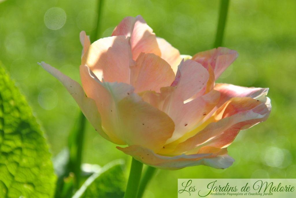 tulipes 'Purple Lady'