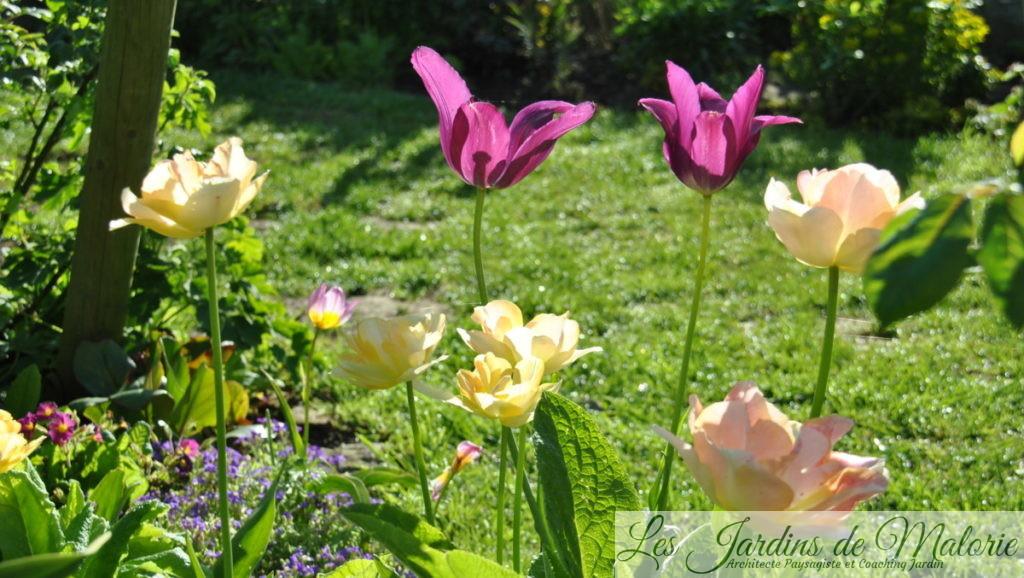tulipes fleur de lis 'Burgundy'