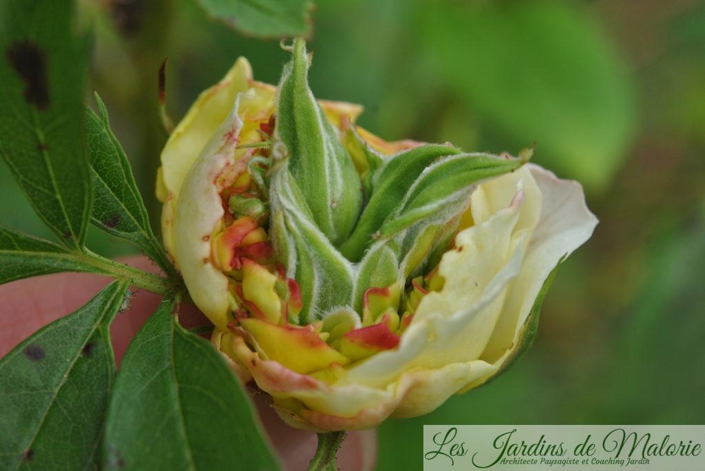 rose malformée: le phénomène de phyllodie, ou encore de chloranthie, tératologie végétale: des feuilles se développent au coeur d'une rose