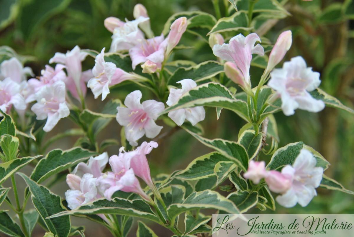Wegelia panaché, Weigelia florida Variegata