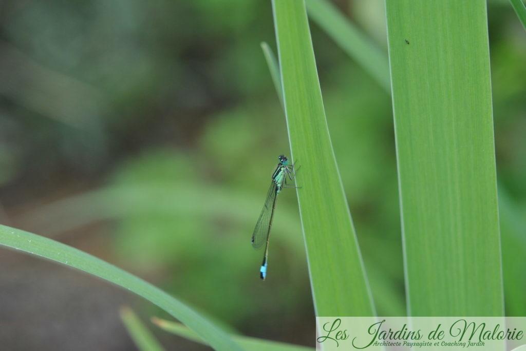 l'agrion jouvencelle, une fine demoiselle bleue au bord du bassin