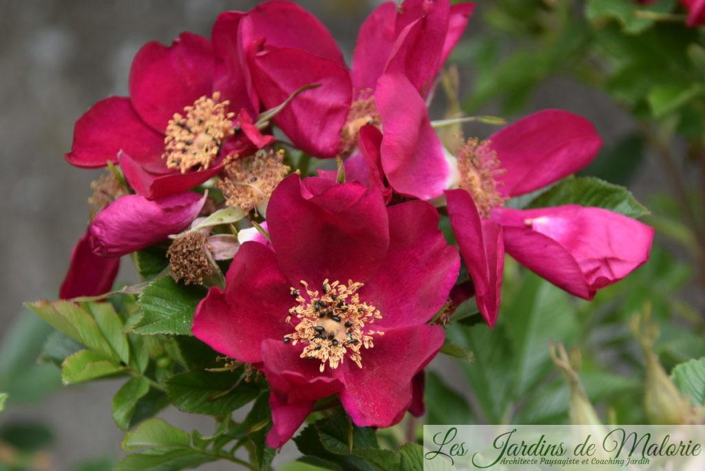 méligèthes sur rosier 'Ann Endt'