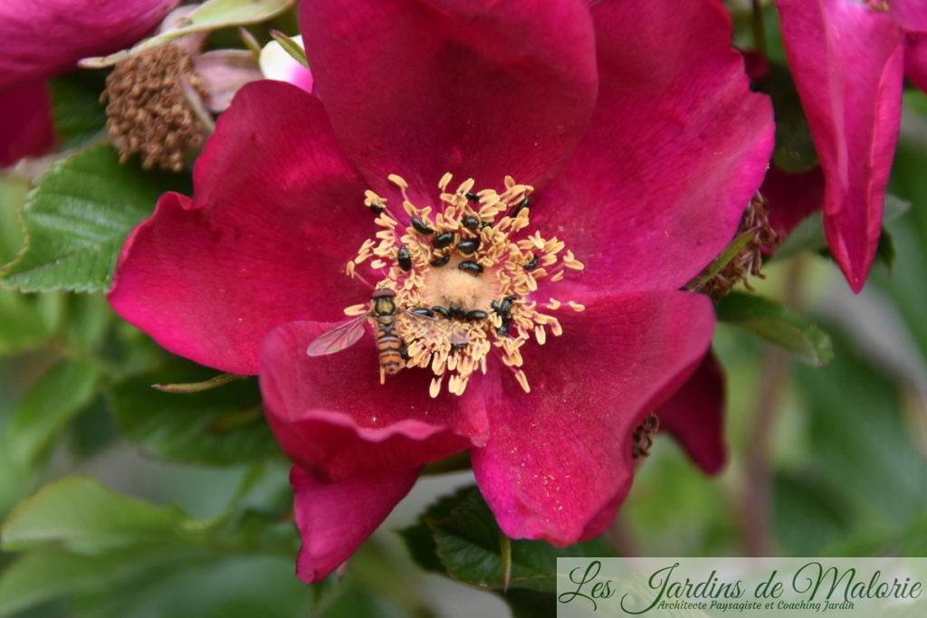 syrphe et méligèthes sur rosier 'Ann Endt'