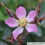 ❤ ❤  Rosa Glauca et son remarquable feuillage gris-bronze