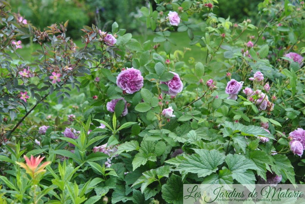 rosa rubrifolia et rosa 'Robert le Diable'