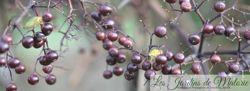 sambucus nigra 'Black Lace' (fructification)