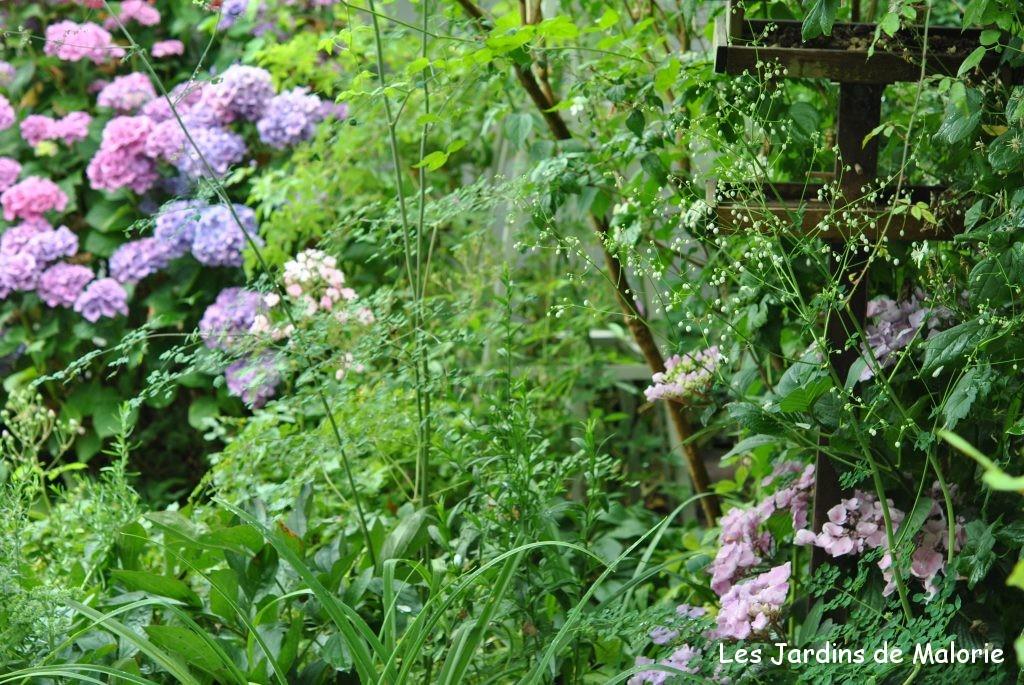mes hydrangea macrophylla les jardins de malorie. Black Bedroom Furniture Sets. Home Design Ideas