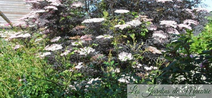 🌳 Sambucus nigra 'Black Lace' taillé en arbre