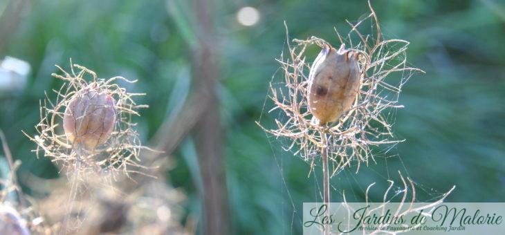 Le temps des graines: nigelles de Damas