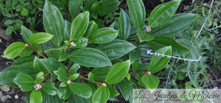 Chroniques de mon jardin: plantation de la viorne 'Davidii'