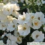 ❤  Focus sur le rosier 'Opalia'