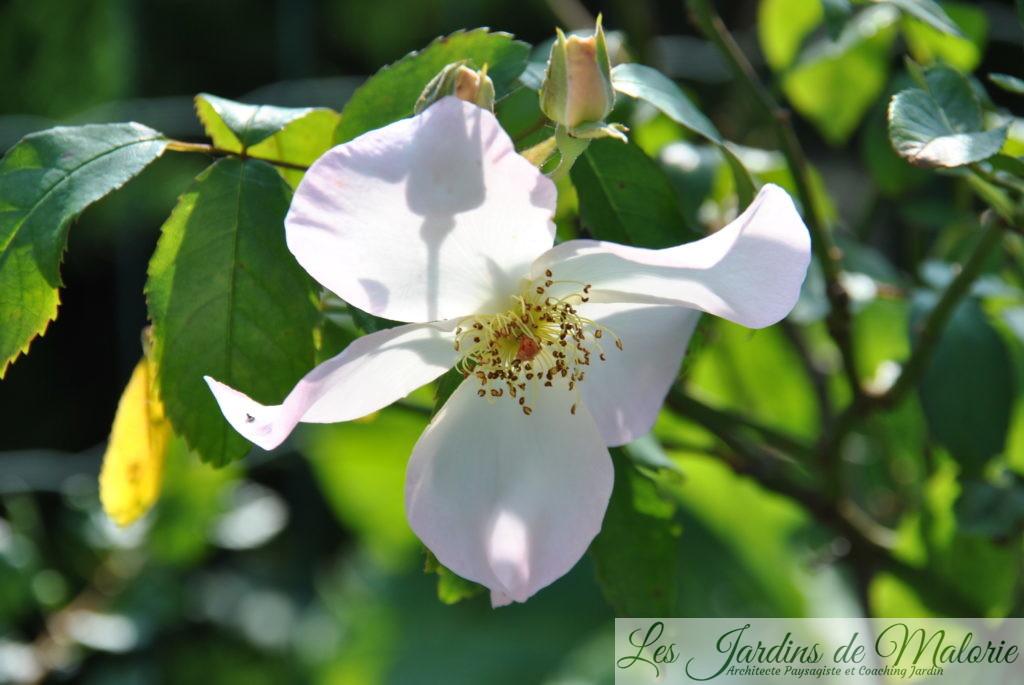 rosa 'Sally Holmes', moschata