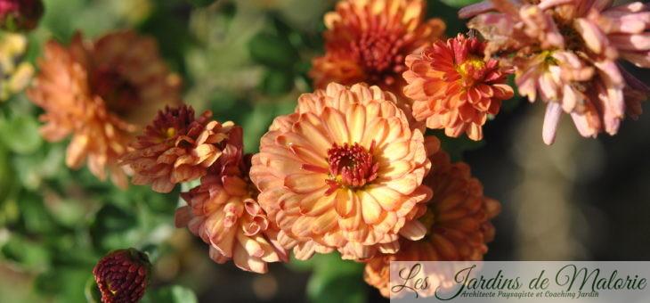 Les chrysantheme vivaces, belles marguerites d'automne