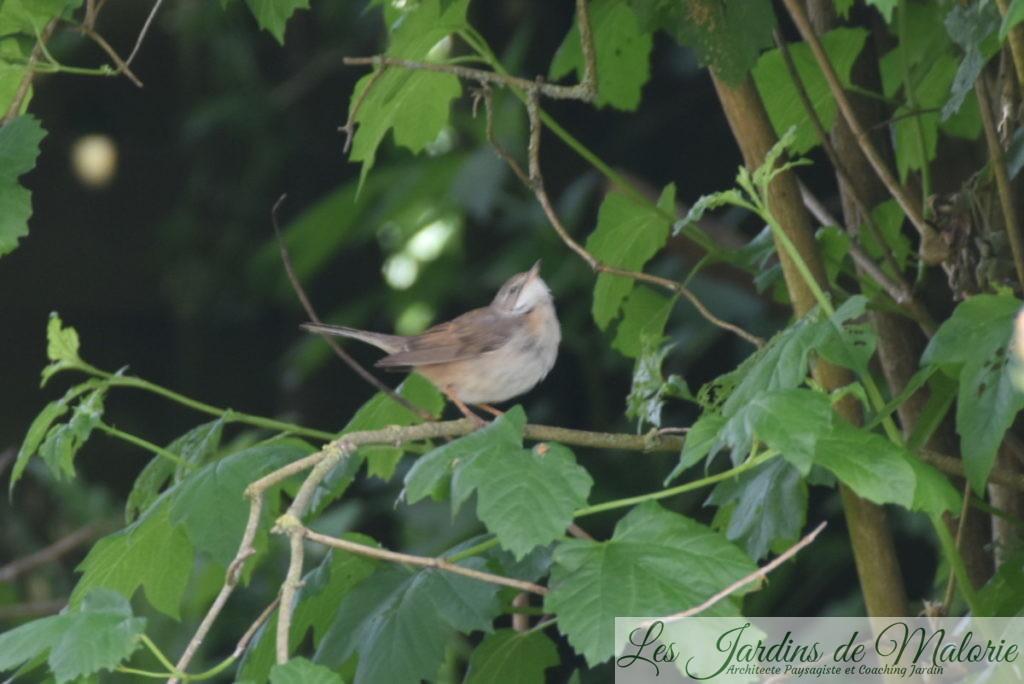 oiseaux des jardins : le pouillot