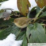 🐦 Oiseaux du jardin : un Pouillot & cie