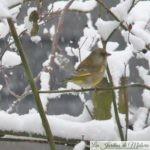 Oiseaux du jardin : Les verdiers font mon printemps!