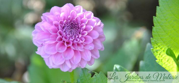 Petits achats en jardinerie: je teste les dahlia