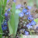 Véronique rampante : une mignonne aux fleurs bleu azur