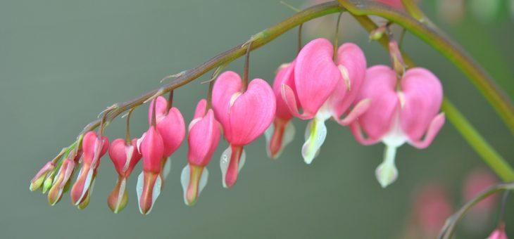 Les fleurs roses/pourpres du début du printemps
