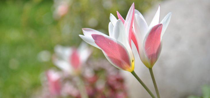 🌷 Tulipes botaniques 'Lady Jane'