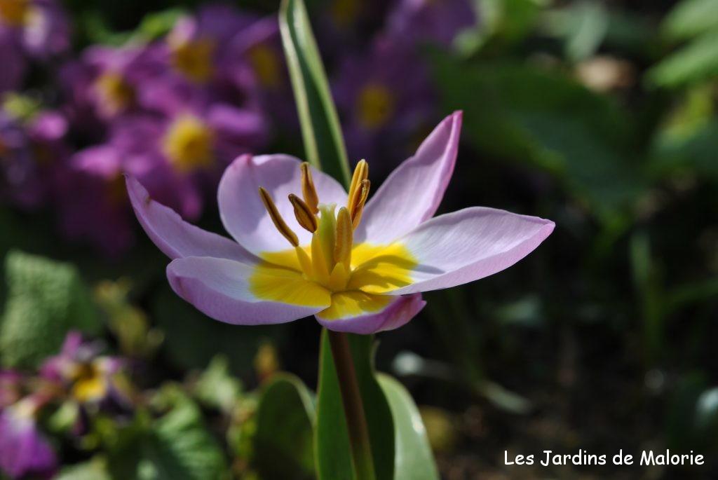 Les tulipes botaniques c 39 est le moment de les planter - Planter des tulipes en mars ...