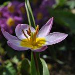 🌷 Les tulipes botaniques: c'est le moment de les planter!
