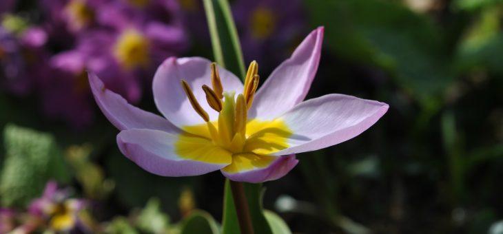 Les tulipes botaniques: c'est le moment de les planter!
